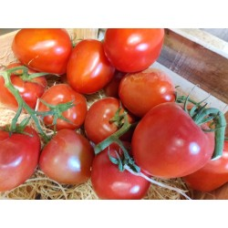 Tomate Ruby red grappe